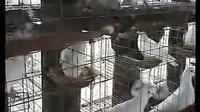 肉鸽养殖技术(鸽子品种)