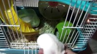 仓鼠-我家J爷吃小鱼